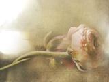 Ranunculus Intertwined