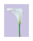 Serene Lily