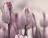 Les Tulipes I