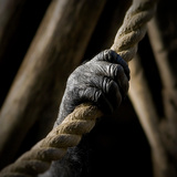 The Hand of an Ape Holding a Rope
