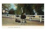 Jacksonville  Florida - Ostrich Farm Scene