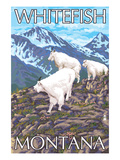 Whitefish  Montana - Mountain Goat Family
