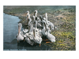 Florida - View of Baby Pelicans