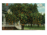 Tampa  Florida - Orange Trees in Front of House