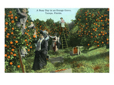 Tampa  Florida - Picking Oranges Scene