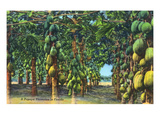 Florida - View of a Papaya Plantation