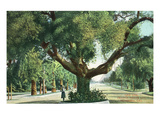 Pasadena  California - A Live Oak Tree on Orange Grove Avenue