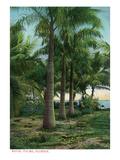 Florida - View of Royal Palms