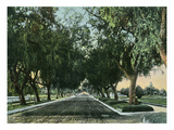 California - View of Pepper Trees Along Road