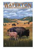 Waterton National Park  Canada - Buffalo Herd