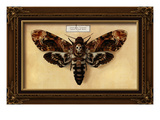 Death&#39;s Head Moth
