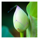 Lotus Flower Bud & Damselfly