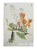 Monarch Caterpillars and Milkweed