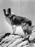 Lassie Come Home  Lassie  1943
