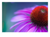 Echinacea  Magnus