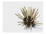 Pencil Urchin