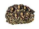 African Leopard Tortoise