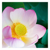 Lotus Blossom