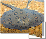 Motoro Ray or Peacock Ray (Potamotrygon Motoro)
