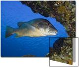 The Cubera Snapper (Lutjanus Cyanopterus)  a Vulnerable Species  Bonaire  Caribbean