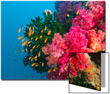 Multicolor Soft Corals  Coral Reef  Bligh Water Area  Viti Levu  Fiji Islands  South Pacific