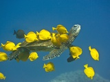 Green sea turtle with passengers