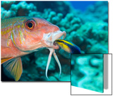 Yellowfin Goatfish  (Mulloidichthys Vanicolensis) and an Endemic Hawaiian Cleaner Wrasse