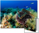 Sea Urchin (Sphaerechinus Granularis)  Mediterranean Sea  San Pietro Island  Sardinia