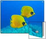 Masked Butterflyfish (Chaetodon Semilarvatus)  St Johns Reef  Rotes Meer  Egypt