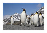 King Penguins  South Georgia