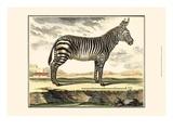 Diderot Zebra