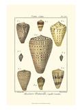 Cone Shells  Pl 333