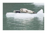 Seal With Pup On Iceberg