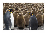 King Penguins With Chicks