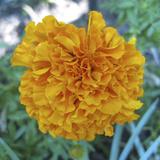 Marigold II