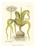 Allium  Pl 258