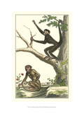 Coaita and Sajou Monkeys