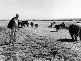 President Lyndon Johnson in Field with Some of Hereford Cattle Raised on LBJ Ranch  ca 1964-1965