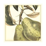 Graphic Pear
