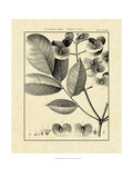 Vintage Botanical Study V
