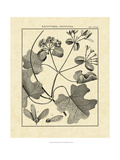Vintage Botanical Study II