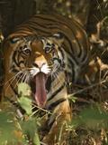 Bengal Tiger  Madhya Pradesh  Bandhavgarh  India