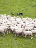 Sheep Dogs  the Wool Shed  Wairarapa  New Zealand