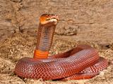 Red Spitting Cobra  Naja Mossambica Pallida  Native to Eastern Africa