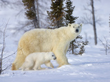 Mother Polar Bear with Cub on the Tundra  Wapusk National Park  Manitoba  Canada