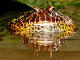 Ornate Horn Frog  Ceratophrys Ornata  Native to Northern South America