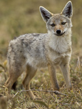 Golden Jackal  Ngorongoro Crater  Serengeti National Park  Tanzania