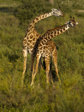 Maasai Giraffe  Ndutu  Serengeti National Park  Tanzania