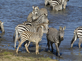 Zebra  Ndutu Forest  Serengeti National Park  Tanzania