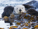 Sea Otter  San Luis Obispo County  California  USA